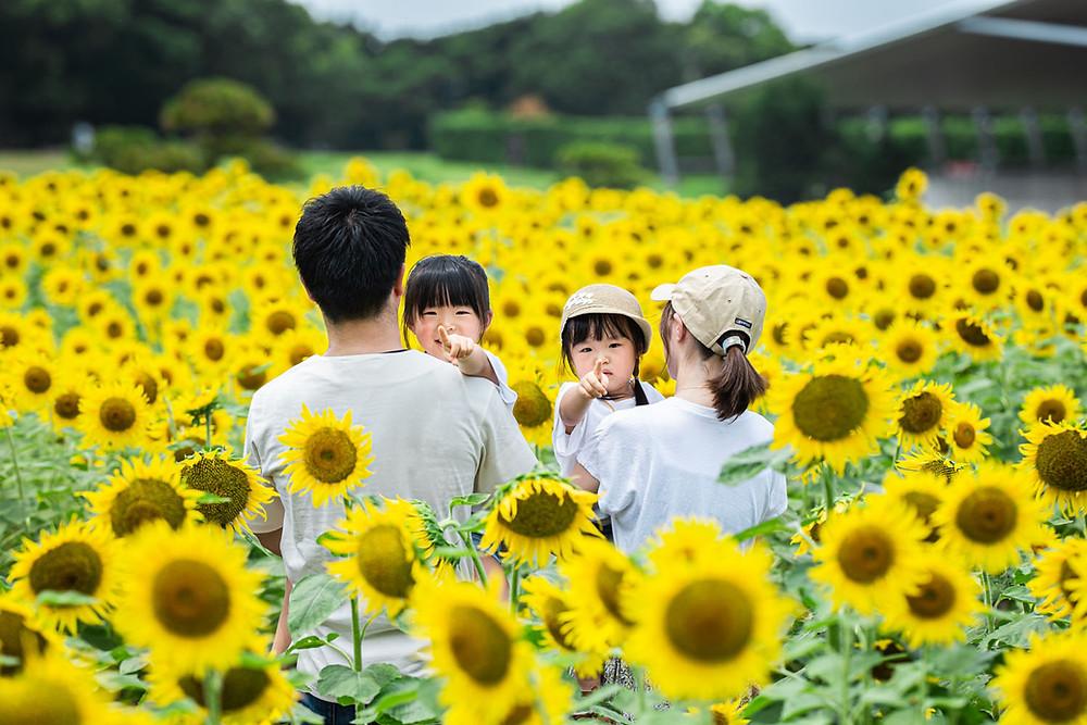 浜名湖ガーデンパークのひまわり畑で浜松のカメラマンが撮影した家族写真