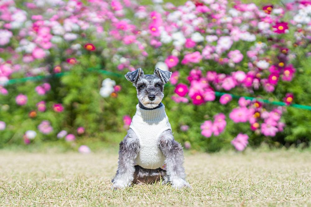 浜松のカメラマンがコスモス畑で撮影したペットの犬の写真