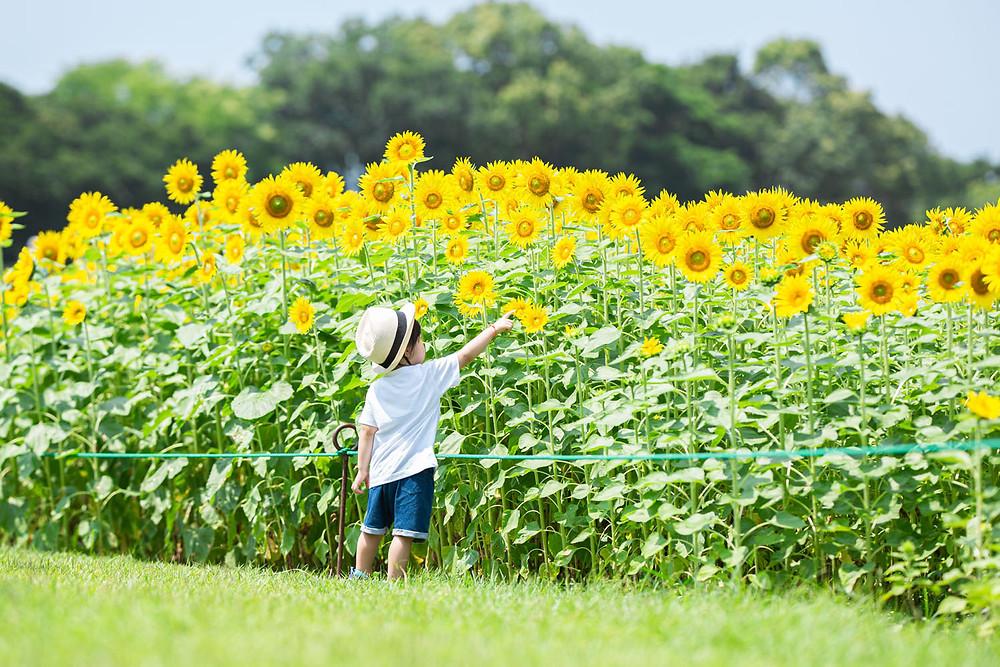 浜松のカメラマンがひまわり畑で撮影したロケーションフォト