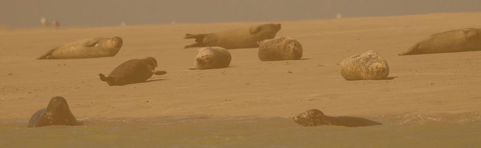 A la découverte des phoques sur les bancs de sable de la Baie de Somme lors de s balades art et nature en Baie de Somme