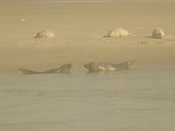 Les phoques de la Baie de Somme sur les bancs de sable à marée basse