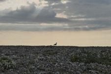 Beaux paysages de galets et coucher de soleil dans la réserve naturelle du Hâble d'Ault au sud de la Baie de Somme