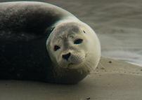 Le phoque veau marin sur les bancs de sable de la baie de Somme non loin de Le Crotoy