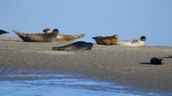 Les phoques de la Baie de Somme sur un banc de sable à marée basse