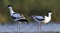 Observation des oiseaux migrateurs au parc ornithologique du Marquenterre en Baie de Somme : les avocettes élégantes