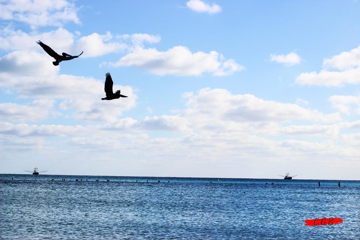 Wild Pelicans