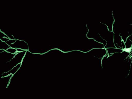 La actividad cerebral pone en marcha genes vinculados al autismo en las neuronas humanas