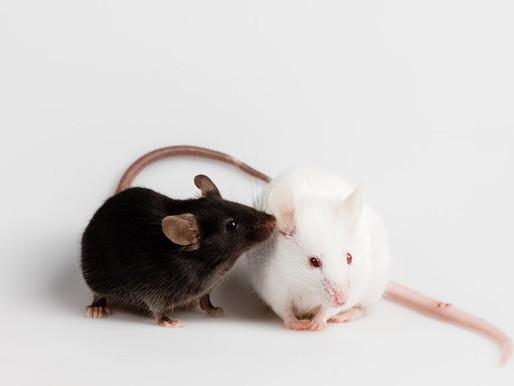 El ajuste de la actividad cerebral revierte los problemas de memoria en los ratones