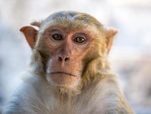 El nuevo genoma de referencia del macaco llena las lagunas de la secuencia