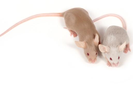 Un medicamento mejora el comportamiento social, la oxitocina en el modelo de ratón autista