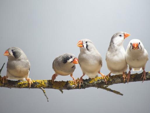 La interferencia genética del autismo silencia la memoria del canto en las aves