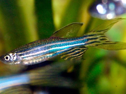 Cómo el pez cebra puede ayudar a desvelar los secretos del trastorno del espectro autista