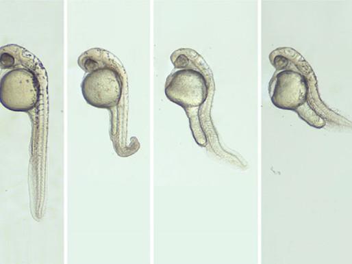 La técnica CRISPR derriba la expresión de genes en los embriones de animales
