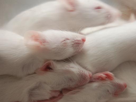 La pérdida de sueño provoca problemas sociales duraderos en los ratones SHANK3