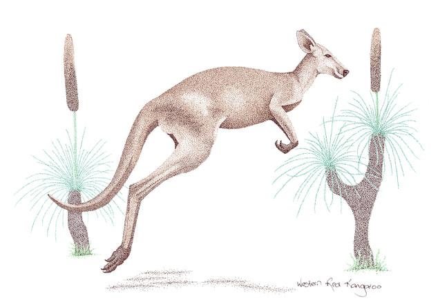 Western Red Kangaroo.jpg