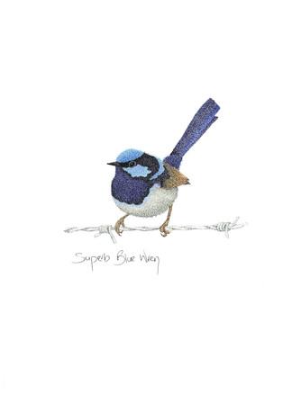 Superb Blue Wren.jpg