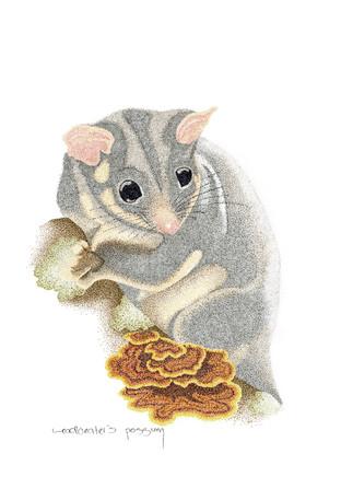Leadbeaters Possum.jpg