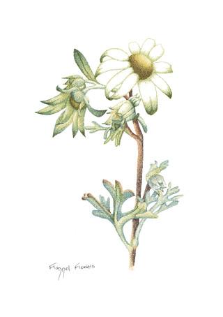 Flannel Flowers.jpg