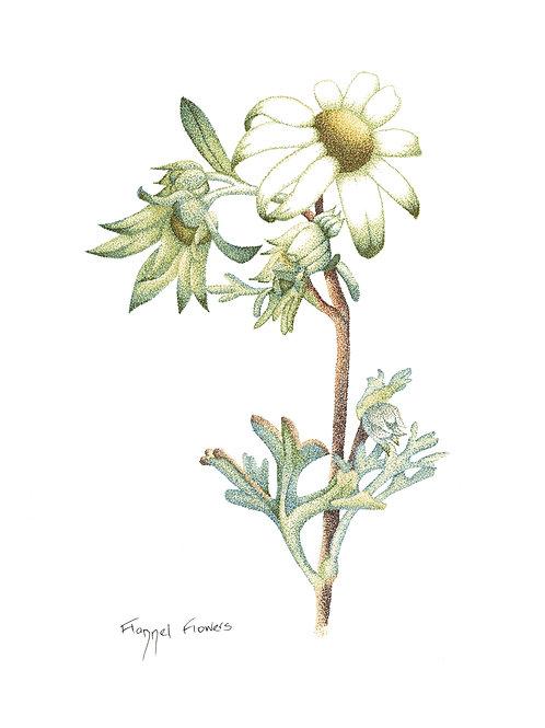 Original Flannel Flower