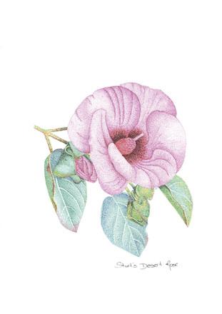 Sturts Dersert Rose.jpg