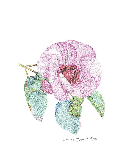 Original Sturt's Desert Rose