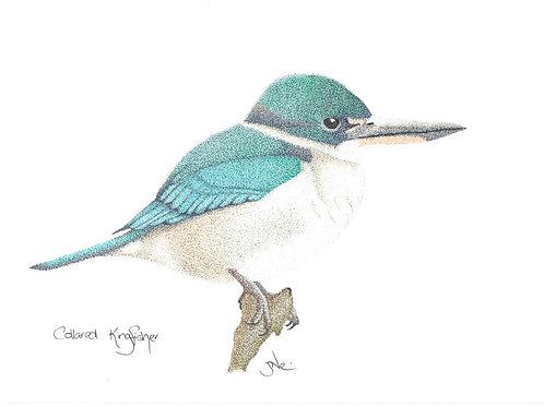 Collared Kingfisher Print