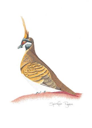 Spinifex Pigeon.jpg