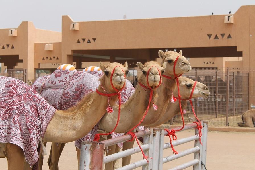 Al-Ain-Camel-Market, UAE