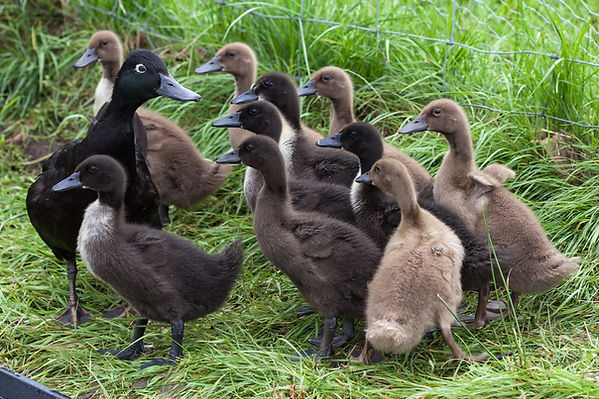 Khaki Campbell ducks at Bluebell Croft Luxury self catering in the Highlands