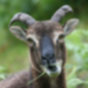 Sheep Castlemilk moorits at Bluebell Croft Luxury self catering in the Highlands