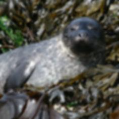 Seals are often seen on the rocks at low tide in Loch Sunart.