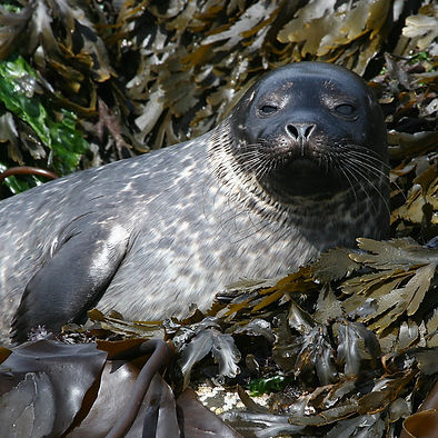 Seals are often seen on the rocks at low tide in Loch Sunart.