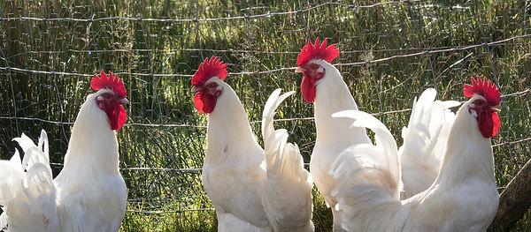 Cockerels at Bluebell Croft