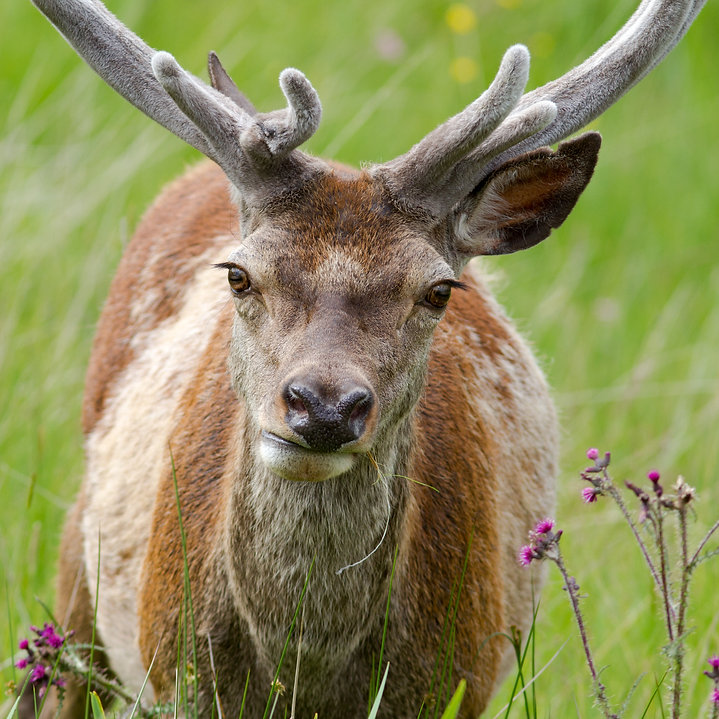 Red Deer are a commn site in Ardnamurchan and the surrounding areas