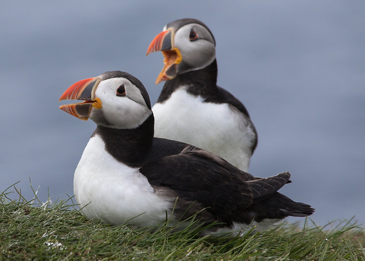Puffins on Lunga Island a fine day trip from the house in the summer months