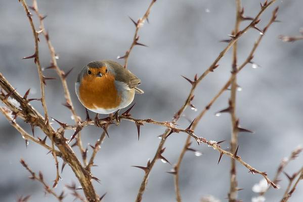 Robin on a gooseberry bush