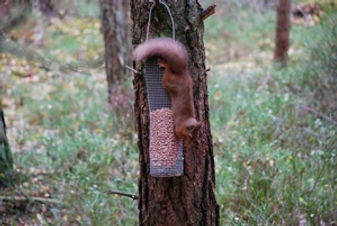 Red Squirrels, not the easiest to see but wonderful when you do.