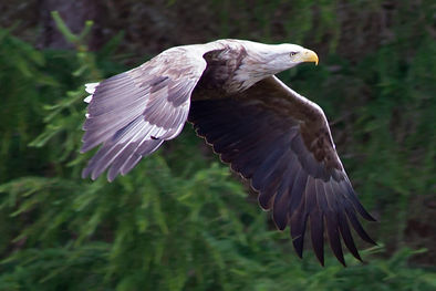 A lovely shot of a white tailed sea eagle taken by Chrissie