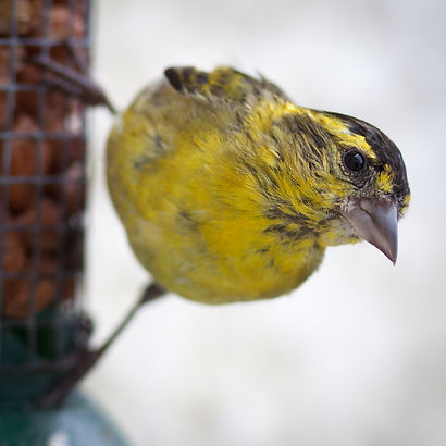 Siskins and lovely pugnacious birds we have on our bird feeders most of the year.