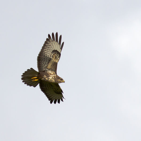 Common Buzzards are really common in this area.