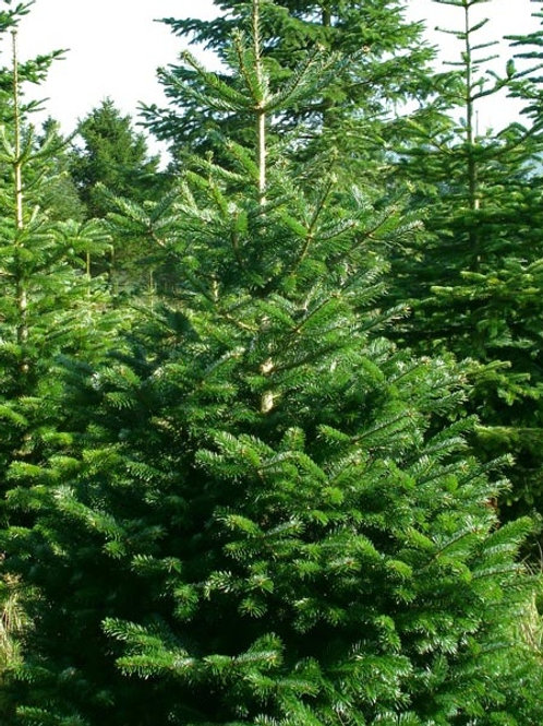 9FT-10FT Nordmann Fir