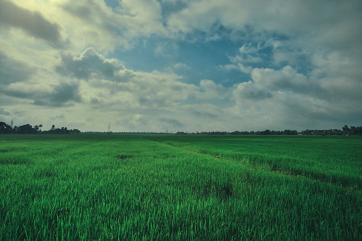 Paddy Field - Alleppey