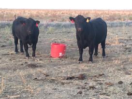 bulls farm.JPG