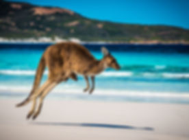 Kangaroo and Joey on beach