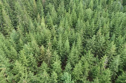 Bird's eyeview of pine trees