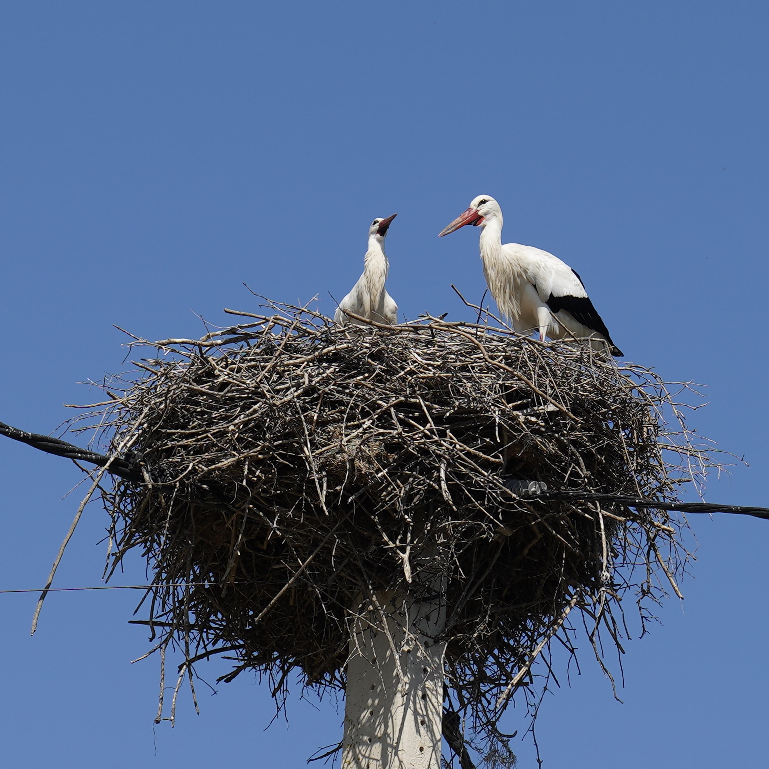 White Storks' Nest.