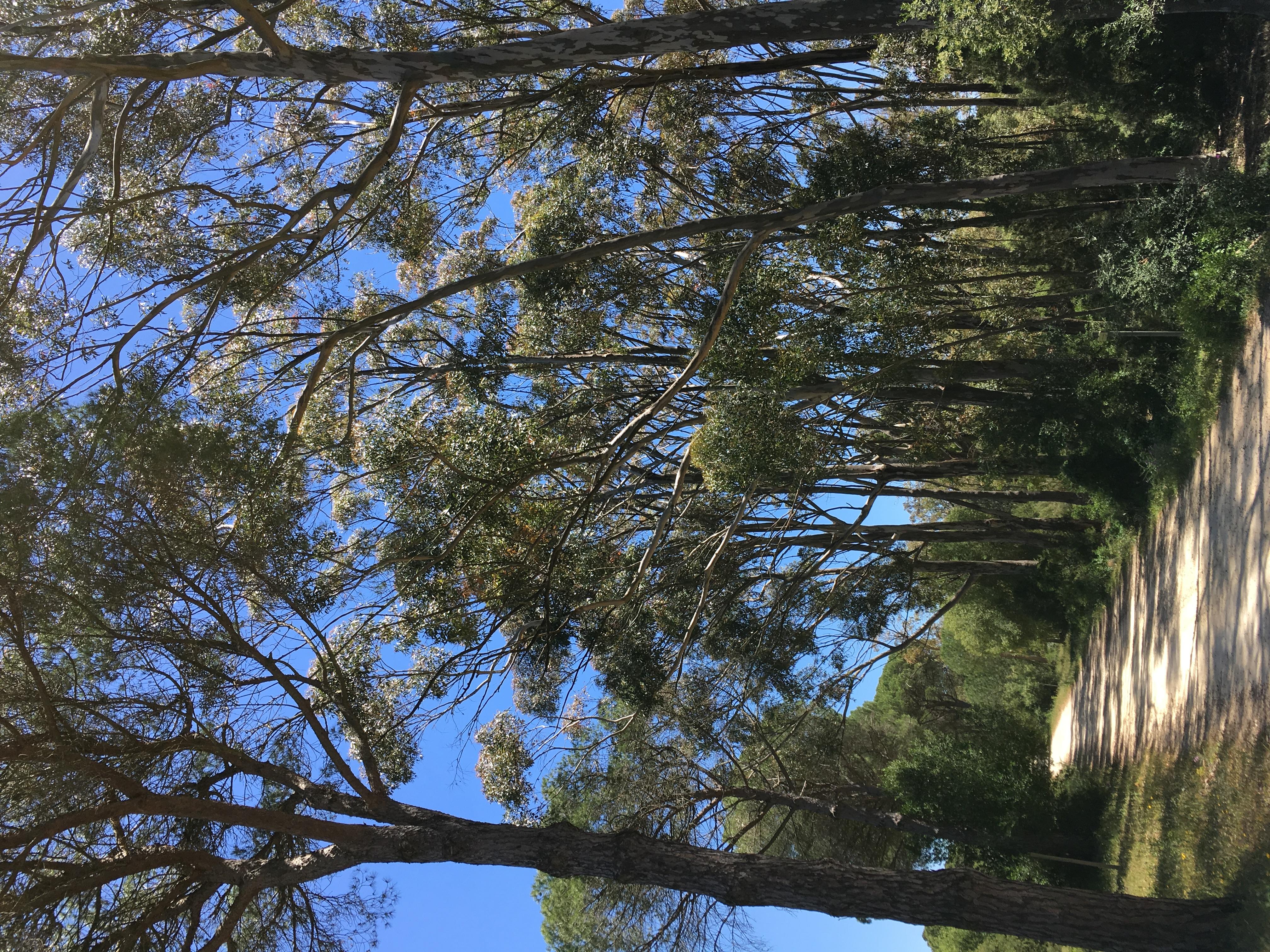 Eucalyptus in La Breña forest.