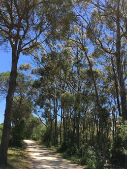 Eucalyptus in La Breña forest