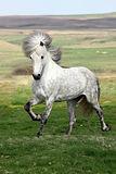 Hestheimar-Kjarni-stallion.jpg