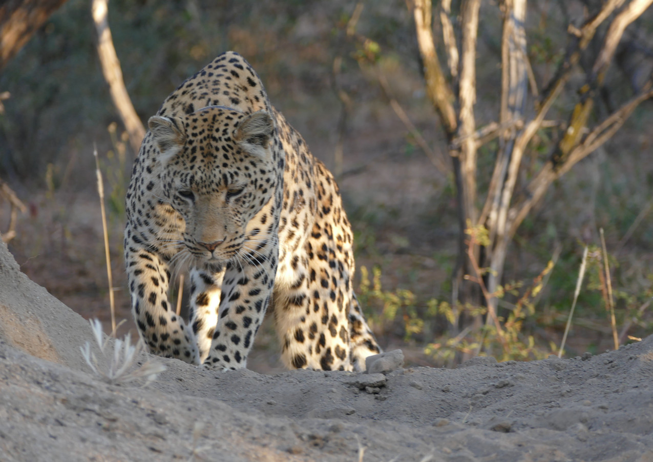 Leopard ready for a meal